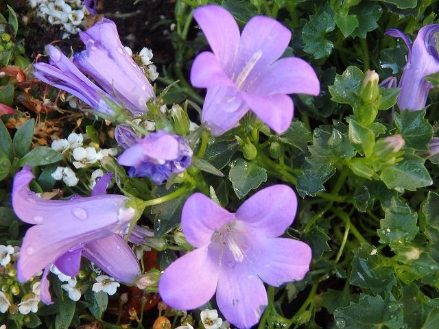 キャンパス花