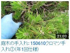 No.007 クロマツ①150610