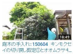 No.006 キンモクセイ①150604