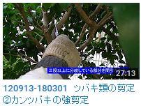 No.041 ツバキ②タチカンツバキの剪定120913