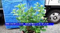 No.056 アジサイ②開花状況と切り花180602