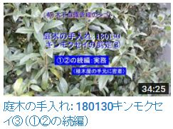 180130キンモクセイ③
