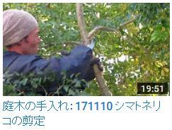 171110シマトネリコ