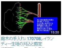 170708コニファー②レイランディー生垣