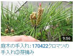 170422クロマツ③芽摘み