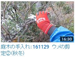 161129ウメ剪定②