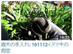 No.030 イヌマキ剪定161112