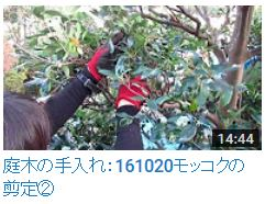 No.016 モッコク剪定②161020