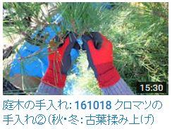 No.018 クロマツ②古葉むしり161018