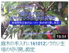 No.024 シラカシ剪定161012