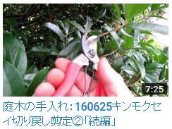 No.013 キンモクセイ②160625