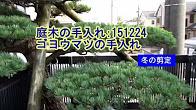 No.046 ゴヨウマツ①冬の手入れ151224