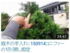 No.008 コニファー剪定①グリーンコーン150914